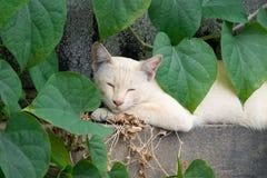 Белый кот лежа в зеленых лист формы сердца на стене Стоковое Изображение RF