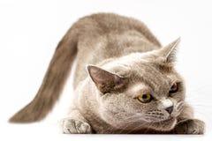 Белый кот лежа на белой предпосылке Стоковое Фото