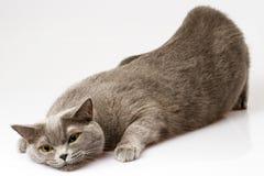 Белый кот лежа на белой предпосылке Стоковые Фотографии RF