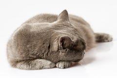 Белый кот лежа на белой предпосылке Стоковые Изображения RF