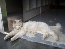 Белый кот лежит вниз Стоковое Изображение RF