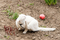 Белый кот играя с шариком в саде, воротники блохи Стоковые Фотографии RF
