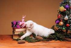 Белый кот играя с pinecone Стоковые Изображения