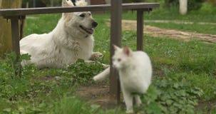 Белый кот и белая собака играя на зеленой траве акции видеоматериалы