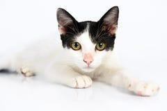 Белый кот на белой предпосылке лежа вниз стоковая фотография