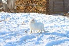 Белый кот - на белом снеге стоковая фотография rf
