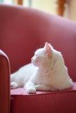 Белый кот ослабляя на софе Стоковые Фотографии RF