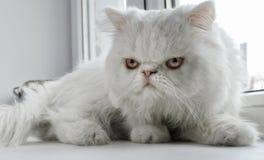 Белый кот персидской породы сидит на окне стоковые фото