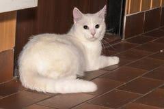 Белый кот представляет к изображению Стоковые Фотографии RF