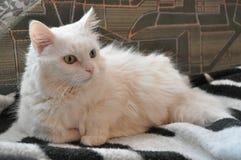 Белый кот, различные глаза Стоковые Фото