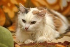 Белый кот с красными и серыми пятнами стоковые фото
