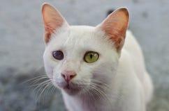 Белый кот с одним глазом шторок Стоковое фото RF