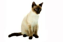 Белый кот Стоковое Фото