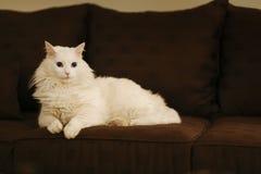 Белый кот Стоковая Фотография