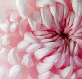 Белый красный цветок хризантемы closeup Макрос Стоковые Фотографии RF