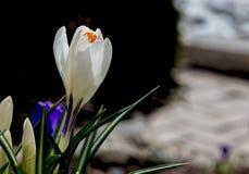 Белый крокус в тени Стоковое Фото