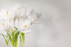 Белый крокус Стоковые Изображения RF