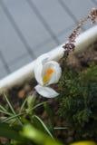 Белый крокус Стоковые Фотографии RF