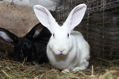 Белый кролик в клетке Стоковая Фотография