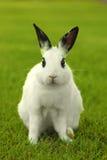 Белый кролик зайчика Outdoors в траве Стоковое Изображение