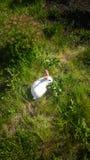Белый кролик на зеленой траве лета Стоковое Изображение RF