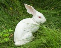 Белый кролик на траве Стоковые Изображения