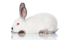 Белый кролик с серыми ушами Стоковое Фото