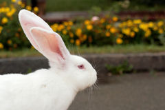 Белый кролик Стоковое Изображение RF