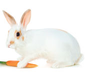 Белый кролик Стоковое фото RF