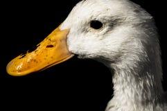 Белый крупный план утки на черной предпосылке Стоковое Изображение