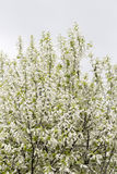 Белый куст вишни птицы Стоковое фото RF