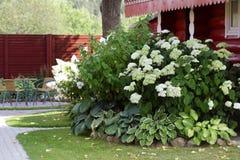 Белый куст гортензии в саде Стоковое фото RF