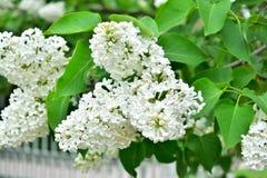 Белый куст сирени в саде Стоковая Фотография