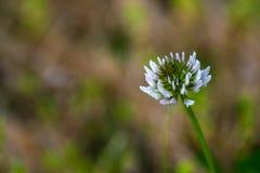 Белый клевер (repens Trifolium, var repens) стоковое фото