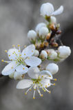 Белый макрос вишневого цвета Стоковая Фотография