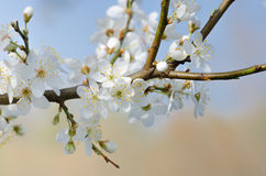 Белый макрос вишневого цвета Стоковое Фото