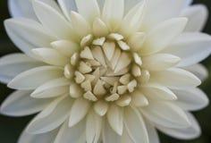 Белый макрос цветка георгина Стоковое Фото