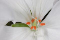Белый макрос цветка гераниума Стоковая Фотография RF