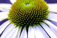 Белый макрос Coneflower Стоковые Изображения