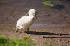 Белый маленький лебедь Стоковые Изображения