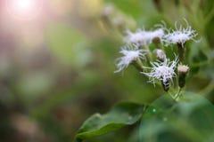 Белый маленький цветок травы в саде Стоковое Фото