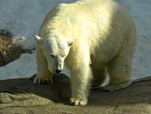 Белый медведь в зоопарке Москвы Стоковые Изображения RF