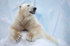 Белый медведь Стоковое Изображение