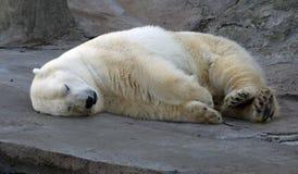 Белый медведь Стоковая Фотография