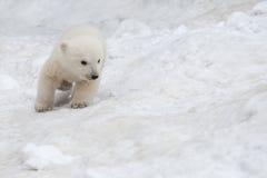 Белый медведь Стоковые Фотографии RF