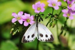 Белый мед сбора бабочки Стоковое Изображение