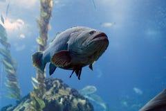 Белый морской окунь Стоковое Фото