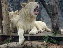 Белый мужской лев расслабляющий и зевающ Стоковые Изображения