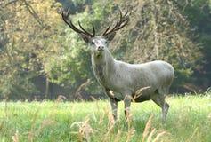 Белый мужчина оленей Стоковые Изображения RF