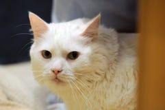 Белый наблюдать кота Стоковое Изображение RF